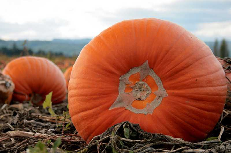 by: SUBMITTED PHOTO - Children in second through fifth grade are invited to visit Sauvie Island to pick pumpkins on Oct. 11.