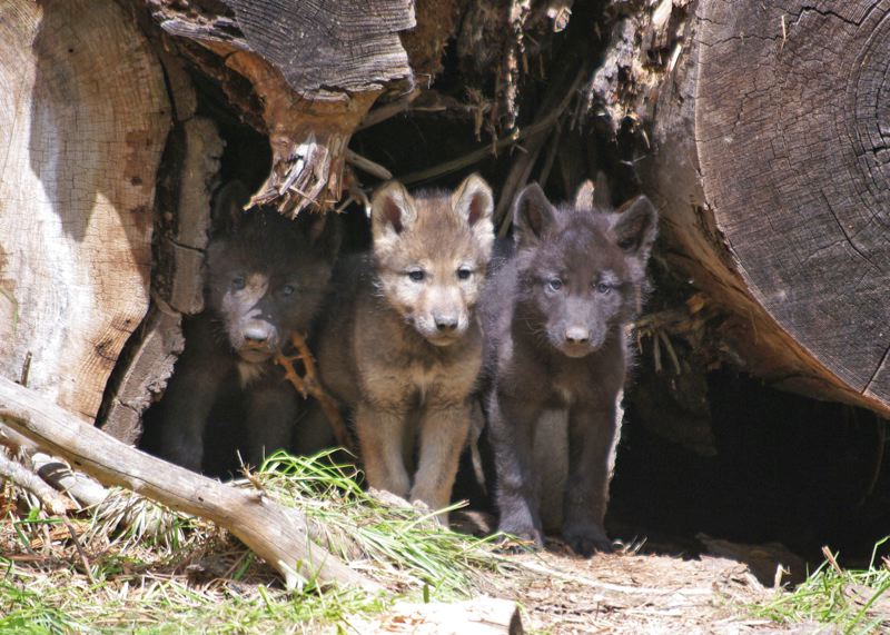 by: COURTESY OF OREGON DEPARTMENT OF FISH AND WILDLIFE - Wolf pups from Oregons Wenaha Pack take refuge under stumps.