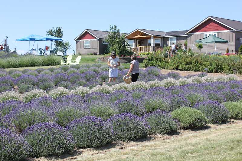 Ladies U-pick lavender during the July Lavender Fest at Cascade Lavender.
