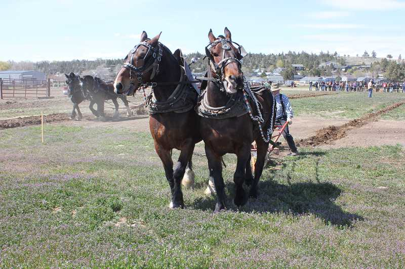 by: SUSAN MATHENY - A pair of Belgian-Percheron cross draft horses compete in the draft horse plowing contest at the Small Farmer's Journal Horsedrawn Auction on April 17, at the Jefferson County Fairgrounds.