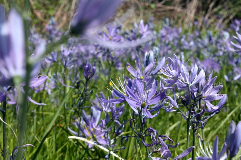 by: SPOTLIGHT PHOTO: KATIE WILSON - Camas flower and oak tree savannas were once common in this area. Now they are much more rare although it is still possible to see camas blooms in the spring at Nob Hill Nature Park and even in grassy areas near city roads.