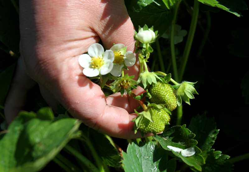 by: TIMES PHOTO: JONATHAN HOUSE - Small unripe strawberries grow at Unger Farms in Cornelius. The berries should be ready later this month for harvest and will be sold at the Tigard Area Farmers Market, which opens this Sunday.