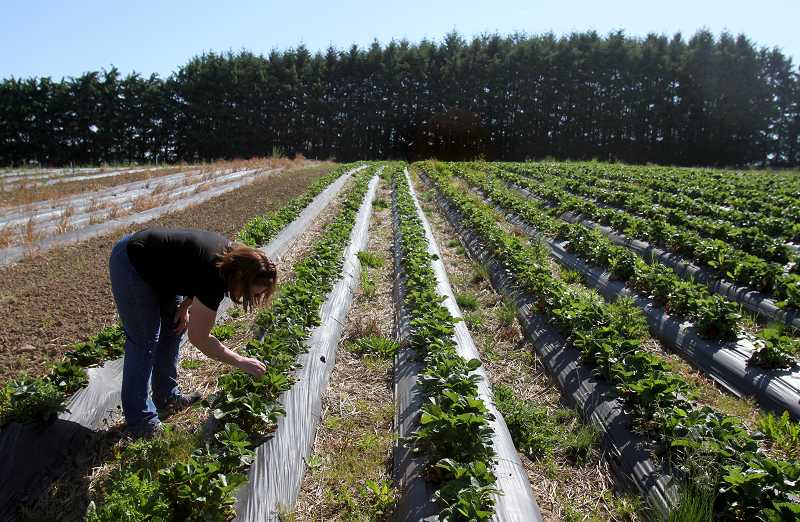 by: TIMES PHOTO: JONATHAN HOUSE - Strawberries will be ready for picking early this year, thanks to the warm spring weather. Thats good news for the Ungers who plan on selling their berries at the Tigard Area Farmers Market when it opens this Sunday.