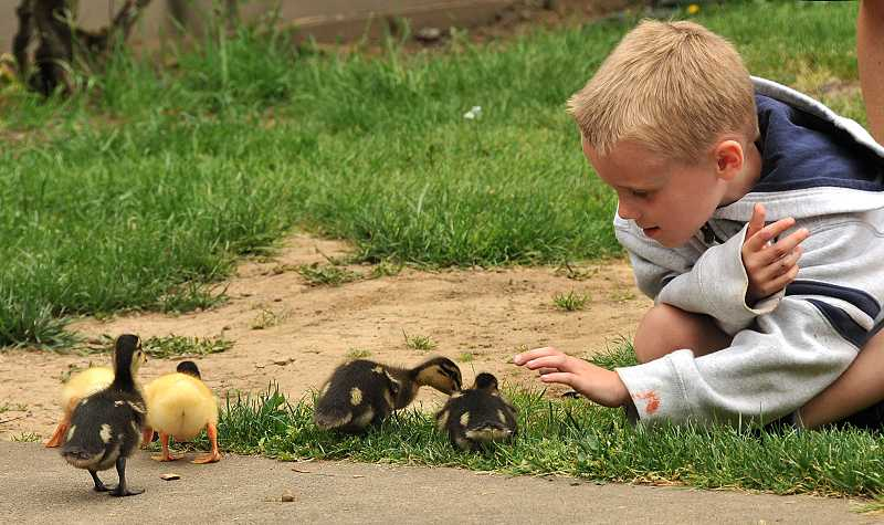 by: REVIEW PHOTO: VERN UYETAKE - Forest Hills student Ryan McAuliffe gets a closer look at the ducklings.