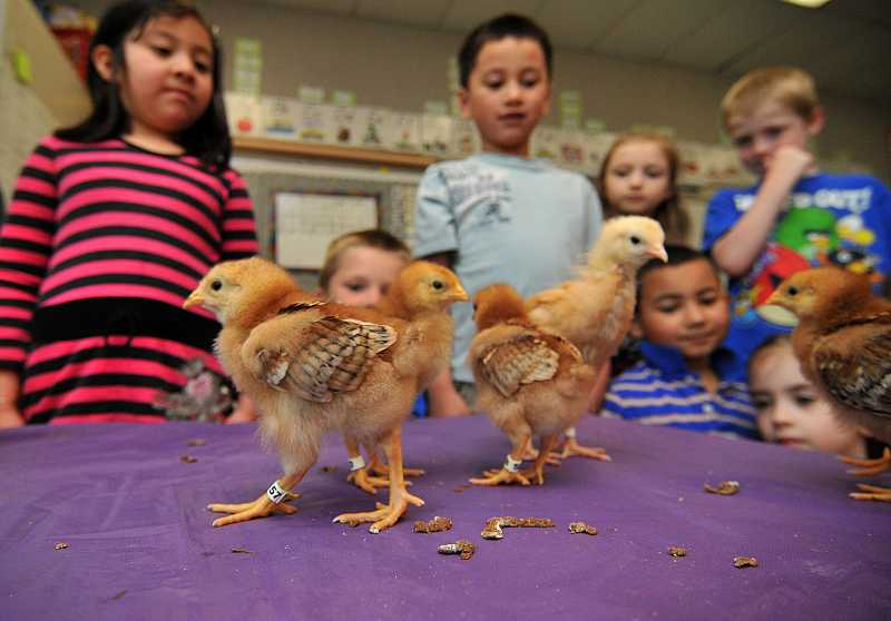 by: REVIEW PHOTO: VERN UYETAKE - Jen Hunts Lake Grove kindergarten class eyes the chicks that the class raised.