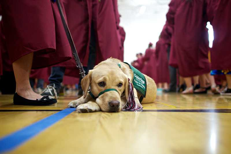 by: JAIME VALDEZ - Kimberly, a yellow labrador guide-dog-in-training owned by Sherwood graduate Heather McNeil, waits patiently in the warm gym at Sherwood High School before graduation.