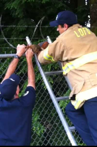 by: SUBMITTED - Lake Oswego firefighters have to be ready for anything, as they show here by rescuing a squirrel caught in razor wire on a fence.
