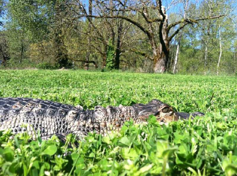 by: SUBMITTED PHOTO - Science teacher and herpetology expert Liz Johnson has 20 pet reptiles, including Nero, an American alligator.
