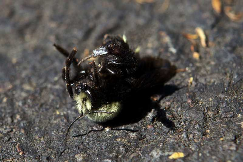 by: JAIME VALDEZ - More than 50,000 bees died from the trees at the parking lot at Wilsonville Target.