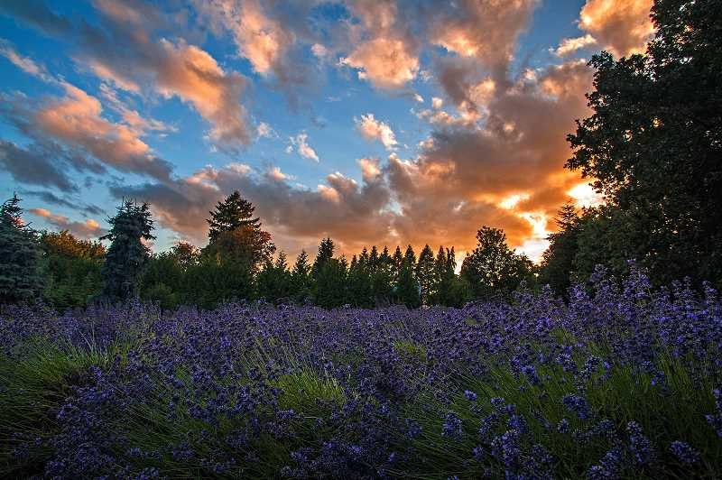 by: JOSH KULLA - The lavender fields at Barn Owl Nursery in Stafford are shown here during a recent sunset. Similar sights will abound at local farms and nurseries during this weekends Oregon Lavender Festival.