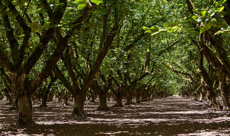 by:  JOSH KULLA - A hazelnut orchard owned by St. Paul farmer John Graham is one of many that dot the north Willamette Valley landscape.