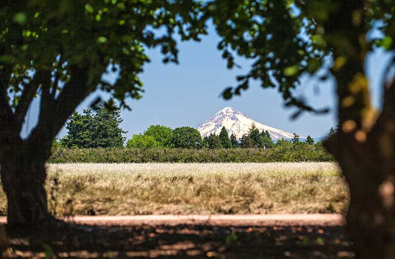 by: JOSH KULLA - Views of Mount Hood are common in north Willamette Valley orchards facing northeast. This is John Grahams hazelnut orchard.