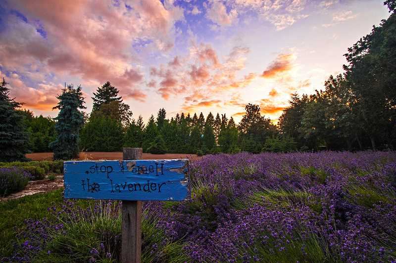 by: JOSH KULLA - FIRST CHOICE: Let there be lavender