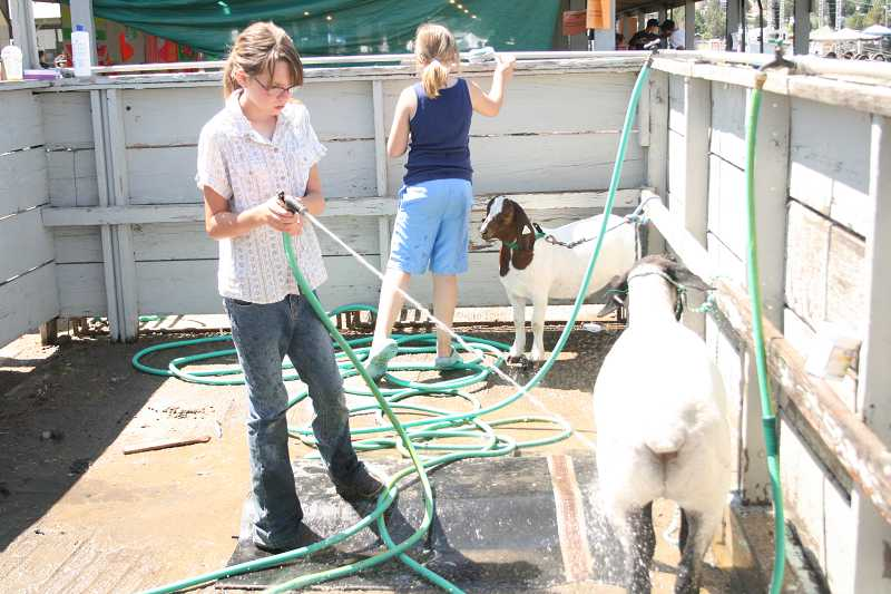 by: FILE PHOTO - 4-H club members get their sheep washed and ready for judging.