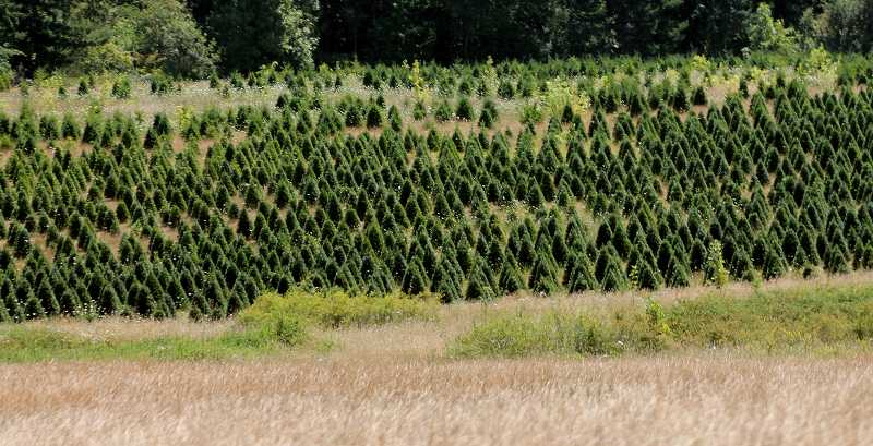 by: CORY MIMMS - Acres of tree farms near Molalla. Christmas trees dropped from the top ten Oregon ag products this year.