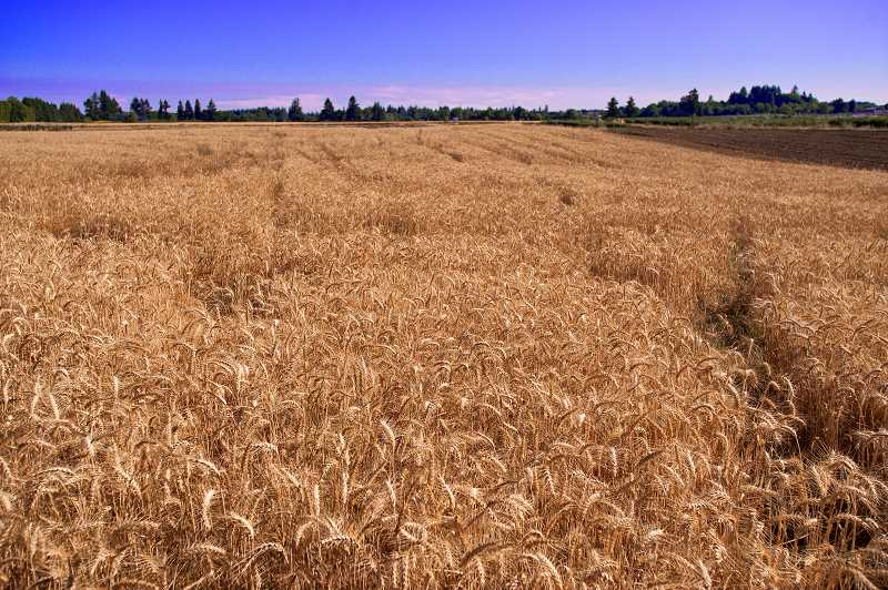 by: JOSH KULLA - The North Willamette Research and Extension Center grows acres of wheat for commercial sale. The money helps fund research and operations.