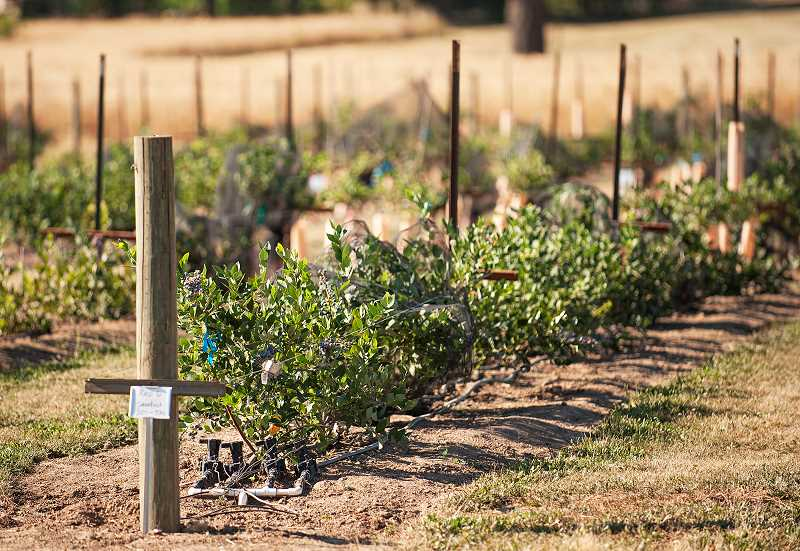 by: JOSH KULLA - Blueberries are among the many crops raised as part of ongoing research that aims to help Oregon's diverse agriculture industry.