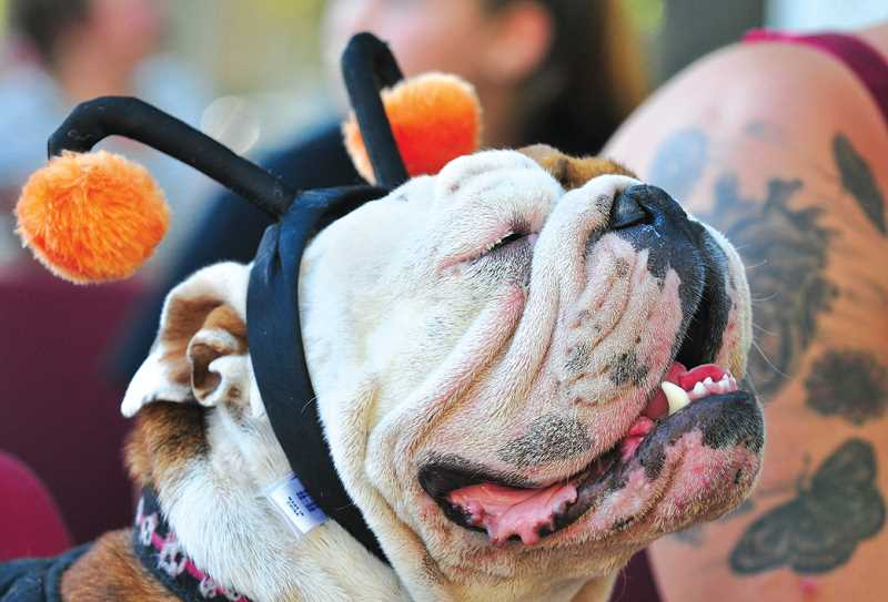 by: GARY ALLEN - Ready for his close-up -- Maybe, an English bulldog, endures the heat July 25 as he awaits his chance to dazzle the crowd at the dog costume contest.