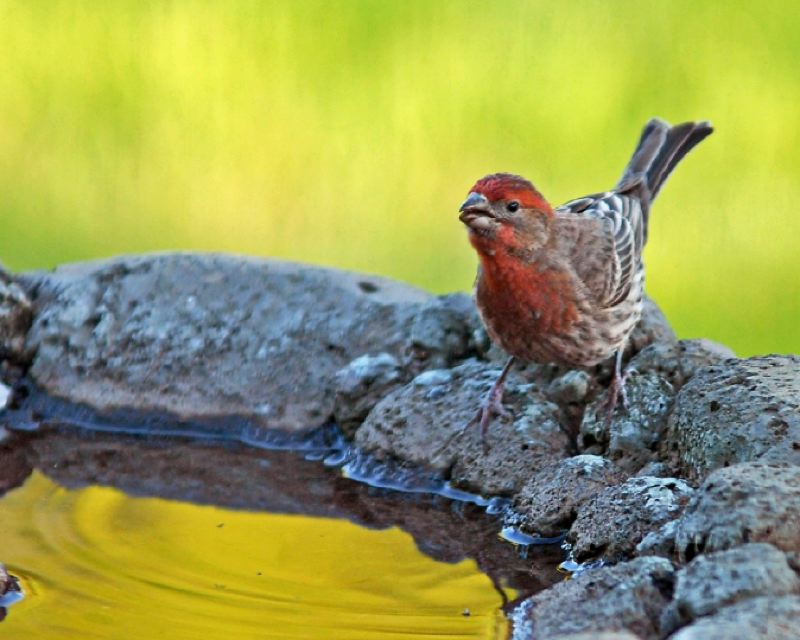 by: PHOTO BY JIM LIESCH, COURTESY OF OREGON DEPARTMENT OF FORESTRY  - Finches are a delightful addition to your garden environment.
