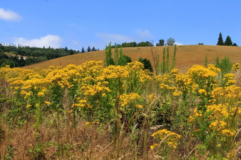 by: OUTLOOK PHOTO: CARI HACHMANN - Tansy grows wild in a vacant pasture near Southeast Lucas Road in Springdale.