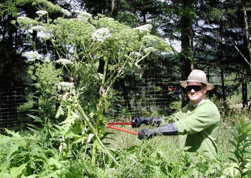 by: CONTRIBUTED PHOTO - Giant Hogweed can cause severe burns. Though this plant resembles other plants with white umbrella-shaped flowers and lacy leaves such as Queen Annes lace, Cow Parsnip and Poison Hemlock, Giant Hogweed is unique in that it grows 10-15 feet high in months. Please report any suspected sightings the Clackamas County Soil & Water Conservation District or the Oregon Invasive Species Hotline.