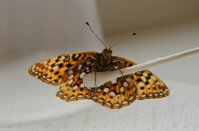 by: COURTESY OF OREGON ZOO - An endangered Oregon silverspot.