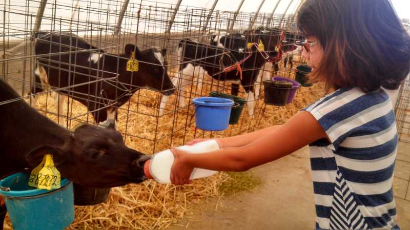 by: KIDS CLUB PHOTO - Mikayla Borja feeds a calf during a Kids Club summer excursion to the Poland Organic Dairy in Madras.