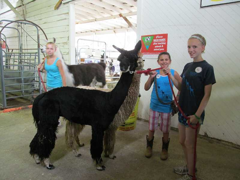 by: ELLEN SPITALERI - West Linn resident Kaci Spain, 12, brought Dynamite, her black Suri alpaca, to be a companion animal for Bentley, seen in the background with Emily Walsworth, 10, a Lake Oswego resident. Bentley was shown at the recent Clackamas County Fair.