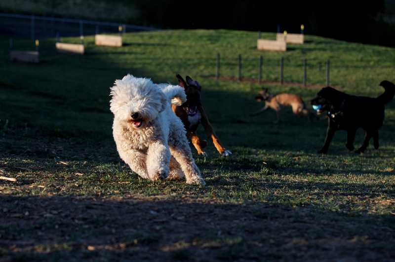 by: TIMES PHOTO: JONATHAN HOUSE - Dogs enjoyed the party during the grand opening of Paul and Verna Winkelman Park in Aloha on Tuesday evening.