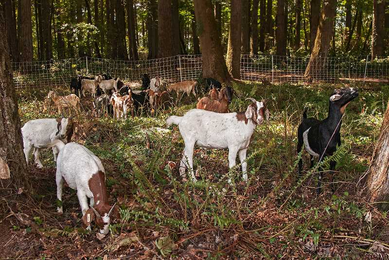 by: JOSH KULLA - A herd of about 40 goats can be found eating their way through English ivy at Tranquil Park in Wilsonville.