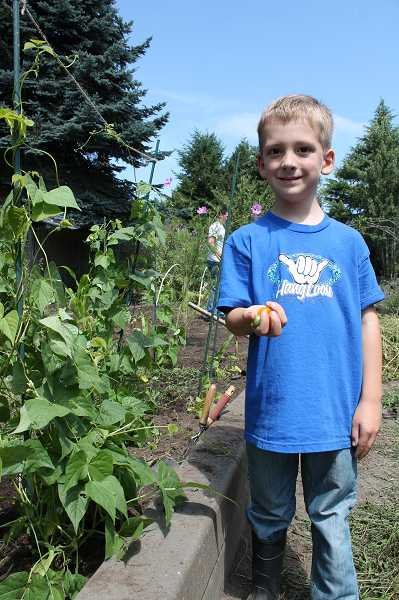 by: TIDINGS PHOTO: KATE HOOTS - Kelan Goodrich, 5, harvests a handful of tomatoes. He will be a kindergartner at Sunset Primary School this fall.