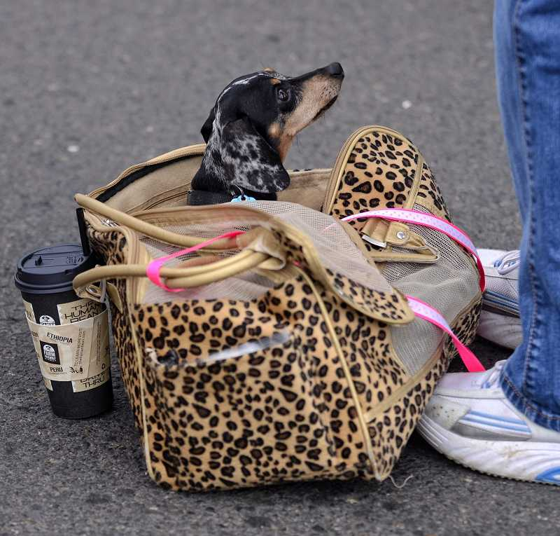 by: RAY HUGHEY - Brat, a 5-year-old mini-dachshund owned by Barbara Blair, of Canby, waits in his tote bag to continue his tour of Canby Big Weekend events.