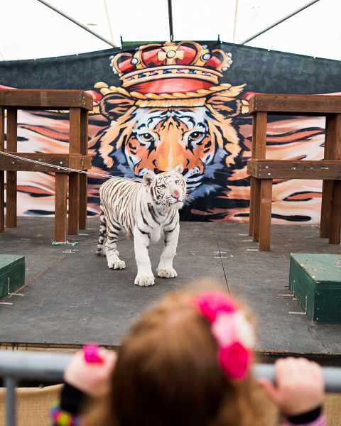 by: PAMPLIN MEDIA GROUP PHOTO: CHASE ALLGOOD - Great Cats World Park of Cave Junction put on a show complete with a white tiger performing tricks.