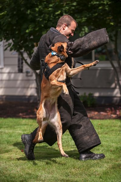 by: SPOKESMAN PHOTO: JOSH KULLA - Kilo is a 65-pound Belgian Malinois who lives, works and patrols with Deputy Hilary Robinson. Here, Kilo subdues a suspect played by Wilsonville Police Chief James Rhodes as part of a demonstration last week at Marquis Care Wilsonville.