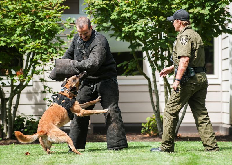 by: SPOKESMAN PHOTO: JOSH KULLA - Kilo is a 65-pound Belgian Malinois who lives, works and patrols with Deputy Hilary Robinson (right). Here, Kilo attempts to subdue a suspect played by Wilsonville Police Chief James Rhodes as part of a demonstration last week at Marquis Care Wilsonville.