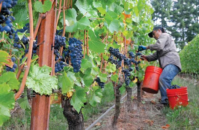 by: GARY ALLEN - The first step - A worker at an Adelsheim Vineyard near Newberg hurries through a patch of pinot noir grapes on Friday before rainy weather slowed the harvest.