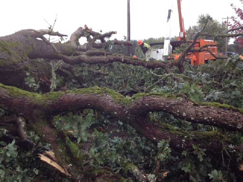 by: RAY HUGHEY - High winds and heavy rains during the weekend helped bring down a double-trunk tree on Gribble Road.