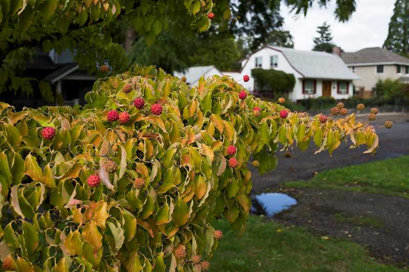 by: COURTESY PHOTO - Coming up with ideas for autumn-friendly shrubs and trees can seem tricky, but fall is a good time to work the warm, moist soil so plantings can get their roots established. This Kousa Dogwood is a nice source of fall color.
