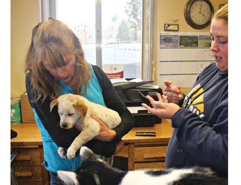 by: HOLLY M. GILL - Heather Layton, right, prepares a vaccination for a puppy that has just arrived at the Jefferson County Kennels on Friday. Volunteer Marlene Johansen, of Bend, holds the puppy while Smudge, a resident cat, keeps an eye on other dogs.