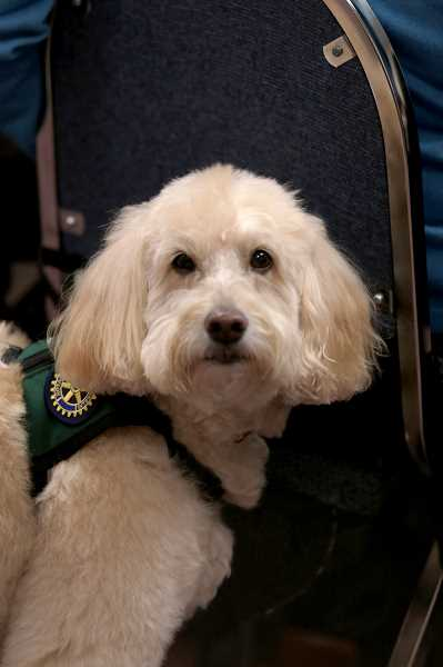 by: TIMES PHOTO: JONATHAN HOUSE - Darlin is the first non-human to win the Paul Harris Fellowship at the Tigard Rotary Club, due to her work as a therapy animal in local medical facilities.