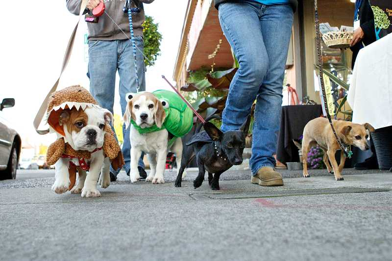 by: TIMES PHOTO: JAIME VALDEZ - Brutus, a 3-month-old English bulldog; Ace, a beagle; Radar, a dachshund-chihuahua mix; and Roy, also a dachshund-chihuahua, all owned by Raleigh Hills Orthodontics Dentist John Delplanche, walk toward the dress-up dog competition during the final First Friday event of the season in downtown Beaverton.