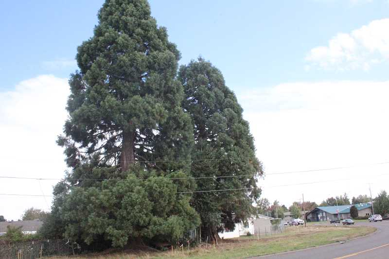 by: JEFF MCDONALD  - Two sequoia trees on the eastern edge of the Woodburn Interchange Project have garnered significant attention from local residents who want to save the trees.