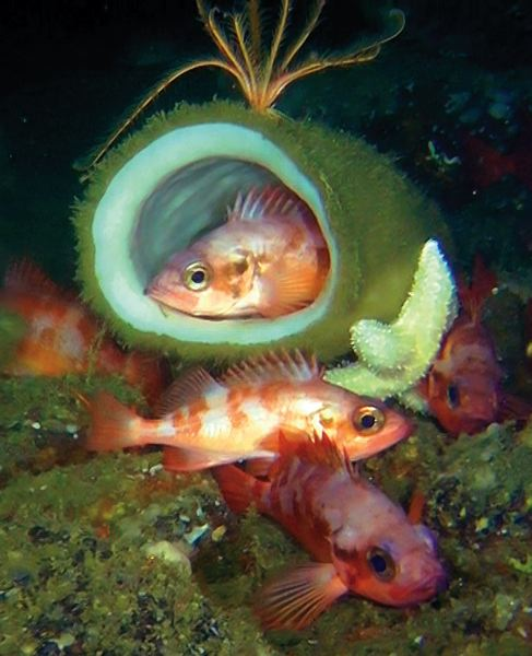 by: PHOTOS COURTESY OF OCEANA  - Sharpchin rockfish take refuge in and around a barrel sponge at Daisy Bank, 35 miles west of Newport.