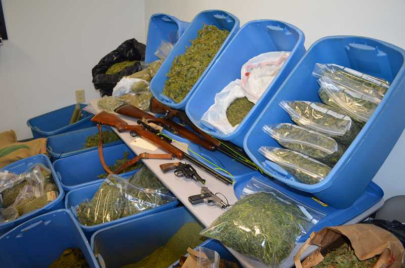 by: COURTESY OF CLACKAMAS COUNTY SHERIFF'S OFFICE - 130 pounds of dried marijuana, 229 plants, one shot gun, two rifles and two handguns were discovered during a raid on a residence in the Estacada area on Monday, Oct. 14.