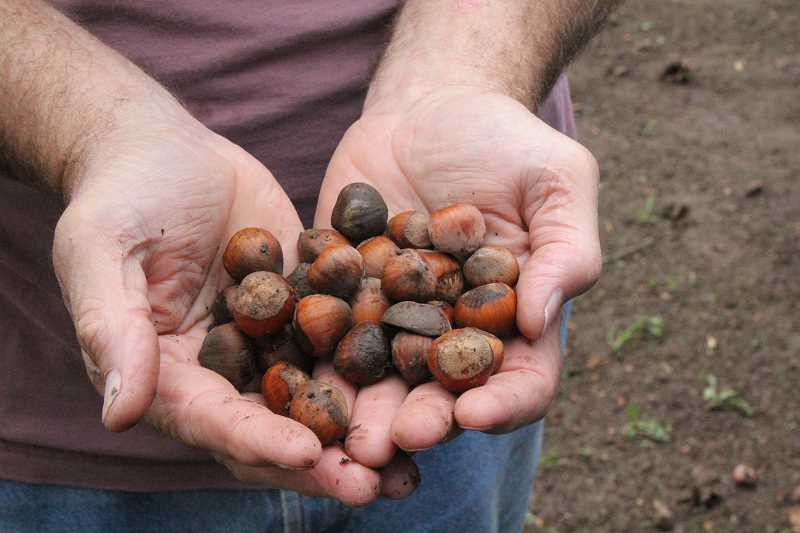 by: JEFF MCDONALD  - Dennis Melcher's hazelnut harvest took longer, but produced a greater yield than a typical harvest.