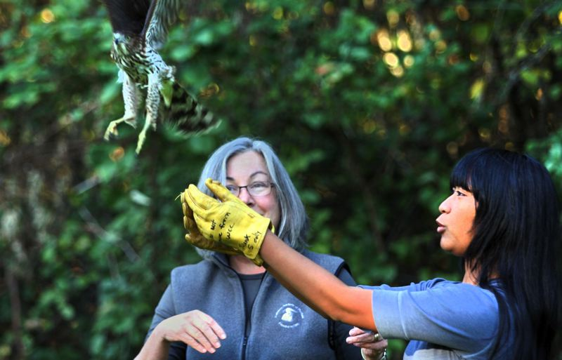 by: OUTLOOK PHOTO: JIM CLARK - Shanera Touch, right, releases a Cooper Hawk at Nadaka Nathre Park on Friday, Oct. 18, under the watch of Audubon Society of Portland veterinarian Deb Sheaffer. Touch, a Mt. Hood Community College student, apprenticed at the Audubons facility last summer.