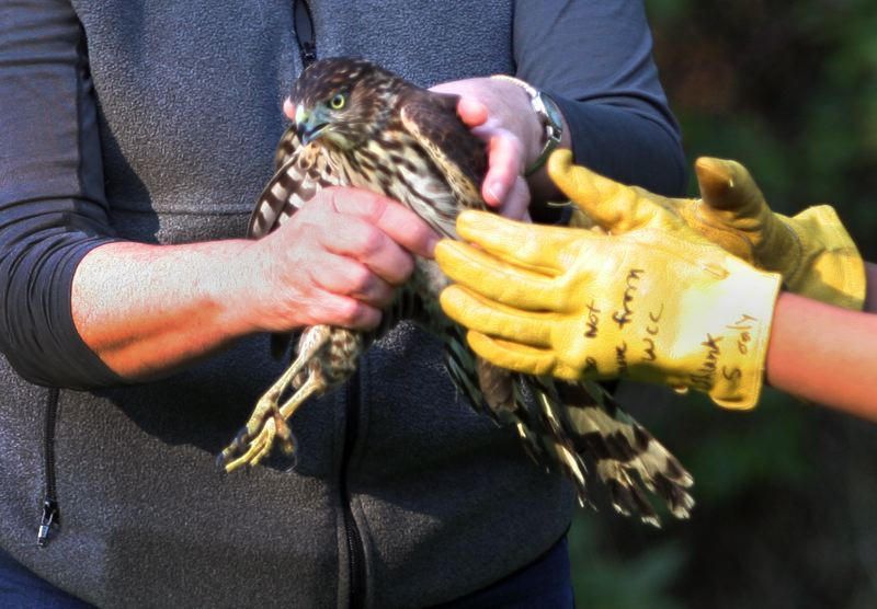 by: OUTLOOK PHOTO: JIM CLARK - A Cooper Hawk is prepared to be released at Nadaka Nature Park on Friday, Oct. 18.
