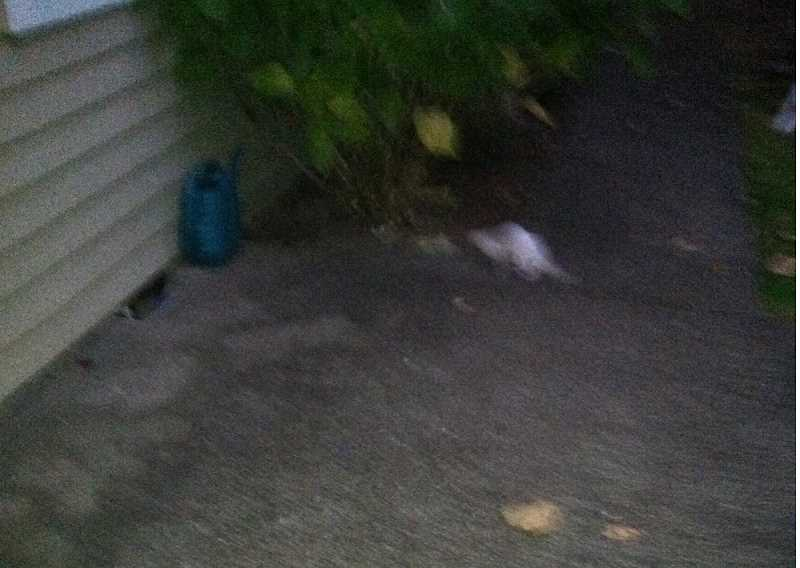 by: SUBMITTED PHOTO - The little white blur at the back is the ferret that apparently has been running wild near Southwood Drive in Lake Oswego.