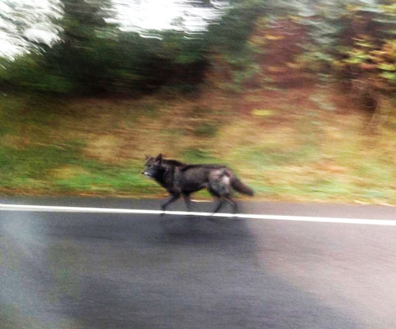 by: CONTRIBUTED PHOTO - Others have reported seeing the wolf over the past few weeks.