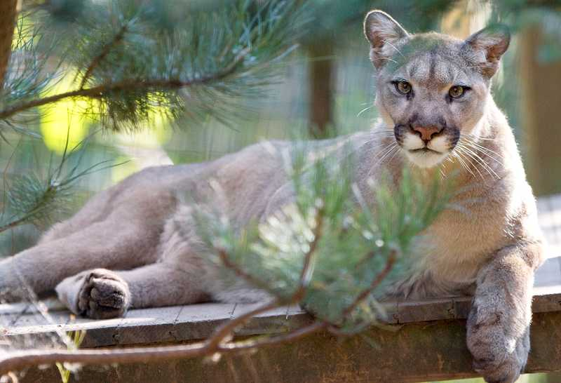 WildCat Haven Sanctuary in Sherwood is home to several big cats who were neglected and abused in captivity. The sanctuary has cared for the animals since 2001.